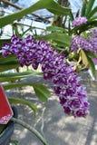 L'orchidea rara dell'asiatico di specie Fotografia Stock