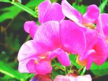 l'orchidea rosa Fotografie Stock