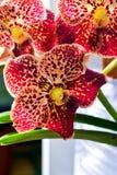L'orchidea rossa di phalaenopsis fiorisce con il centro giallo e rotondo Fotografie Stock