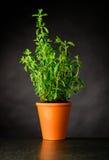 L'Oregon che cresce in un vaso delle terraglie Fotografia Stock Libera da Diritti