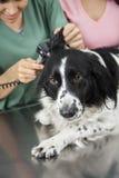 L'oreille de border collie examiné par le vétérinaire féminin Image stock
