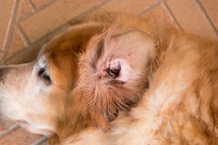 L'oreille de chien sale Photographie stock