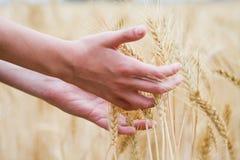 L'oreille du blé sec dans les mains du gosse Photos libres de droits