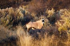 L'orice del sud sta i supporti fra erba asciutta alta in Namibia Fotografia Stock Libera da Diritti