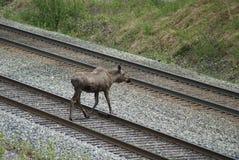 L'orignal d'Alaska croise des voies ferrées Photos stock