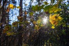 l'oro di autunno ha colorato le foglie con il fondo della sfuocatura ed i rami di albero immagine stock