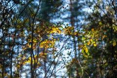l'oro di autunno ha colorato le foglie con il fondo della sfuocatura ed i rami di albero fotografie stock libere da diritti