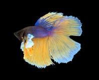 L'oro ed il combattimento siamese blu pescano, pesce di betta isolato su blac Immagini Stock