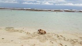 L'oro labrador è trovantesi ed imbrogliante intorno nella sabbia sulla spiaggia dell'oceano archivi video