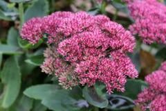 L'orpin est un type d'usine fleurissante dans le Crassulaceae de famille d'orpin, Photographie stock libre de droits