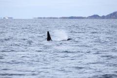 L'orque ou l'épaulard nage en mer arctique Image stock