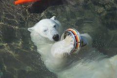 L'orsa Nika a Mosca pulisce la ciotola con la bandiera della Germania a Mosca Fotografia Stock Libera da Diritti