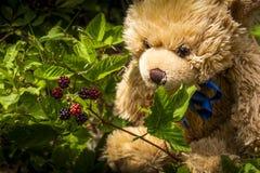 L'orsacchiotto raccoglie i lamponi in foresta fotografie stock libere da diritti