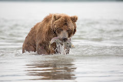 L'orso è stato preso e mangia il salmone del pesce Immagine Stock