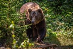 L'orso Fotografia Stock