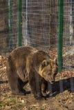 l'orso bruno allo zoo fra le barre fotografie stock