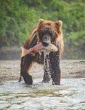 L'orso bruno mostra un fermo piacevole con pranzo di color salmone nella sua bocca nel lago Kuril fotografie stock