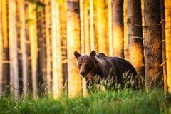 L'orso bruno nella foresta Fotografie Stock Libere da Diritti