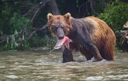 L'orso bruno prende il pranzo in lago Kuril immagini stock libere da diritti