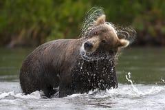L'orso bruno scuote la sua testa da pesca di color salmone di tempo Fotografie Stock