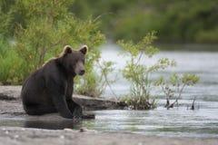 L'orso bruno sta sedendosi sulla sponda del fiume Fotografia Stock