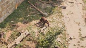 L'orso cammina nell'uccelliera dello zoo nella città di Berna switzerland video d archivio