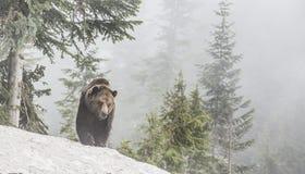 L'orso cammina verso il fotografo Immagini Stock
