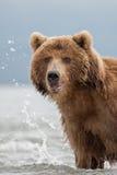L'orso cerca il pesce in acqua Fotografia Stock