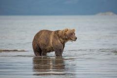 L'orso cerca il pesce in acqua Immagini Stock Libere da Diritti