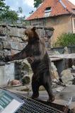 L'orso chiede l'ossequio nello zoo di Kaliningrad Russia Fotografia Stock Libera da Diritti