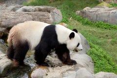 L'orso di bambù gigante o, del panda Immagine Stock Libera da Diritti