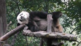 L'orso di panda gigante stock footage
