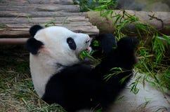 L'orso di panda si trova sopra parte posteriore e mangia le piante verdi del germoglio di bambù Fotografie Stock Libere da Diritti