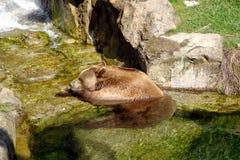 L'orso dorme nel tiro Fotografie Stock