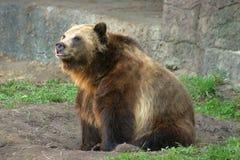 L'orso grigio Immagine Stock