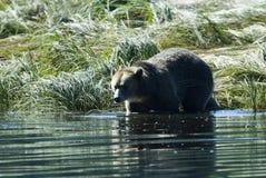 L'orso grigio fa un passo nell'acqua Fotografie Stock Libere da Diritti