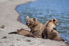L'orso grigio selvaggio dell'orso bruno con piccoli cuccioli di orsi svegli è sul lago immagini stock libere da diritti