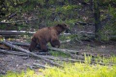 L'orso grigio vede la preda immagini stock libere da diritti