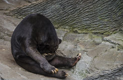 L'orso malese che copre il suo osserva nascondersi Fotografia Stock