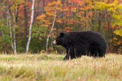 L'orso nero della femmina adulta (ursus americanus) cammina a sinistra fotografia stock libera da diritti