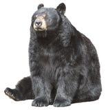 L'orso nero nordamericano si siede, dormire isolato Fotografia Stock Libera da Diritti
