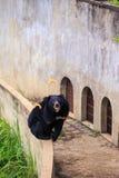 L'orso nero si siede sulla barriera alla parete con Windows in zoo Fotografia Stock