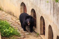 L'orso nero sta su tutte le zampe vicino alla parete in zoo Fotografia Stock