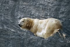 L'orso polare è un orso polare fra le rocce immagini stock libere da diritti