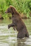 L'orso sta sulle sue gambe posteriori Fotografie Stock
