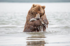 L'orso sta sulle sue gambe posteriori Immagine Stock Libera da Diritti