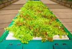 L'orto idroponico organico Immagine Stock