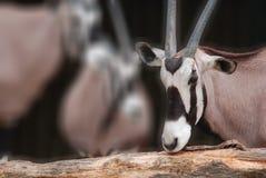 L'oryx de cimeterre Images stock