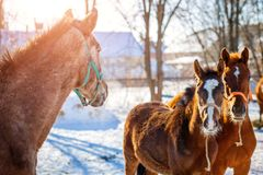 L'oseille pouline avec des chevaux dans le matin givré d'hiver photos stock