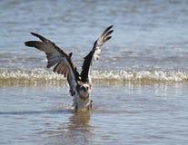 l'Osprey soulève ses ailes Photos stock